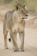 Close-up Of A Lioness In The K...