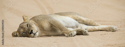 Fototapety, obrazy: Close-up of a lioness lying down to sleep on soft Kalahari sand