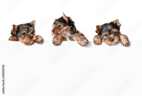Fototapeta Funny dogs with white banner