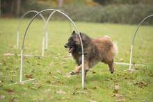 Dog, Belgian Shepherd Tervuren...