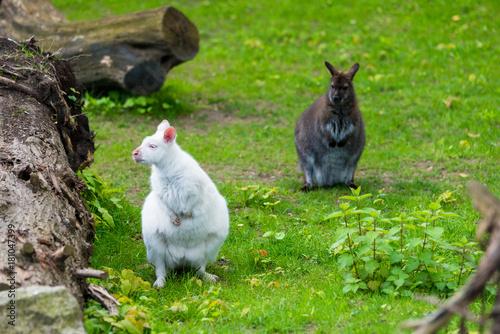 Valokuva  Albino kangaroo. white kangaroo