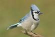 Blue Jay (corvid cyanocitta)