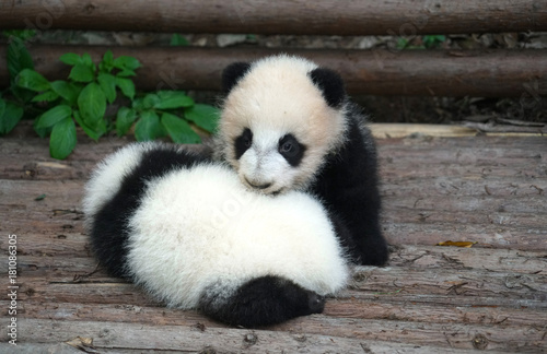 Spoed Foto op Canvas Panda Baby panda playing and sleeping outside