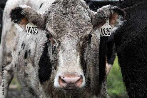 Photo  White dirty cow at the farm