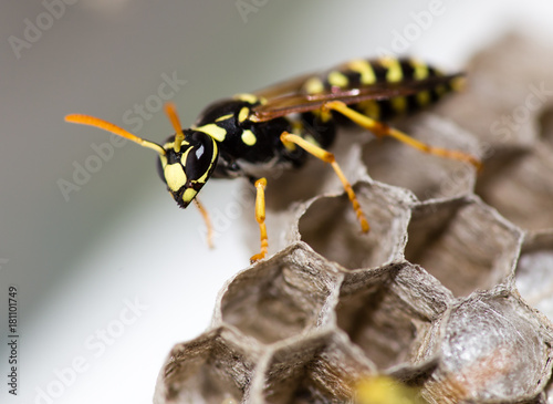 A wasp for hives in nature