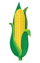 Corn. VECTOR Illustration Isol...