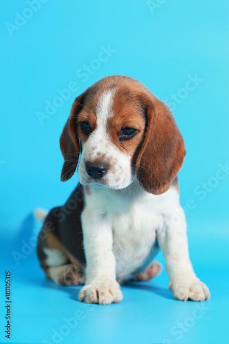 Obraz 2 month pure breed beagle Puppy on light blue screen - fototapety do salonu