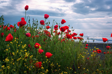 Obraz na SzkleSeascape with poppies / Magnificent sunrise view with beautiful poppies on the beach near Burgas, Bulgaria