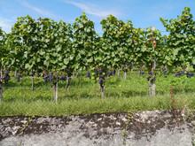 Weinreben Mit Blauen Weintrauben