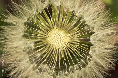dandelion white blowball seeds - taraxacum asteraceae