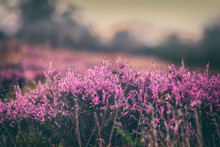 Blooming Heather Flowers On Br...