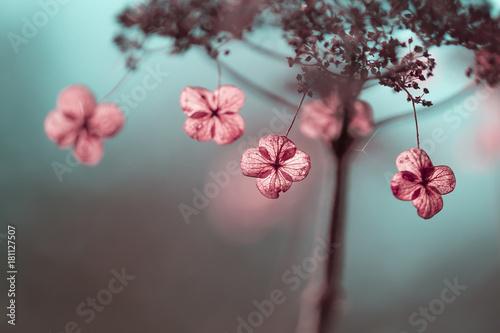 Foto op Canvas Hydrangea Verblühte Hortensien im Gegenlicht
