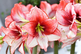Growing Amaryllis.Beautiful red white hippeastrum, amaryllis flowers in the garden.A beautiful bouquet of flowers.Dutch flowers.Beautiful composition.