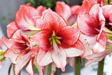 Growing Amaryllis.Beautiful Re...