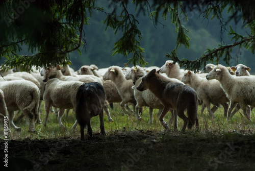 Foto  Wolf pack hunting sheep