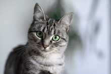 Beautiful American Shorthair C...