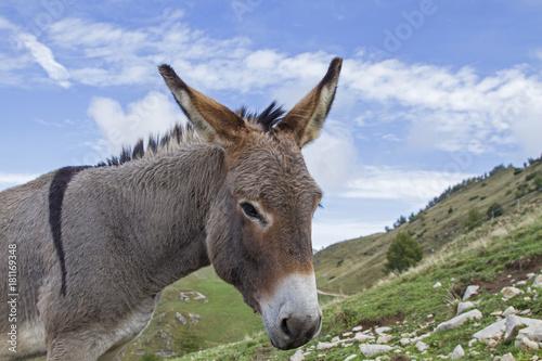 Esel auf einer Bergwiese im Trentino