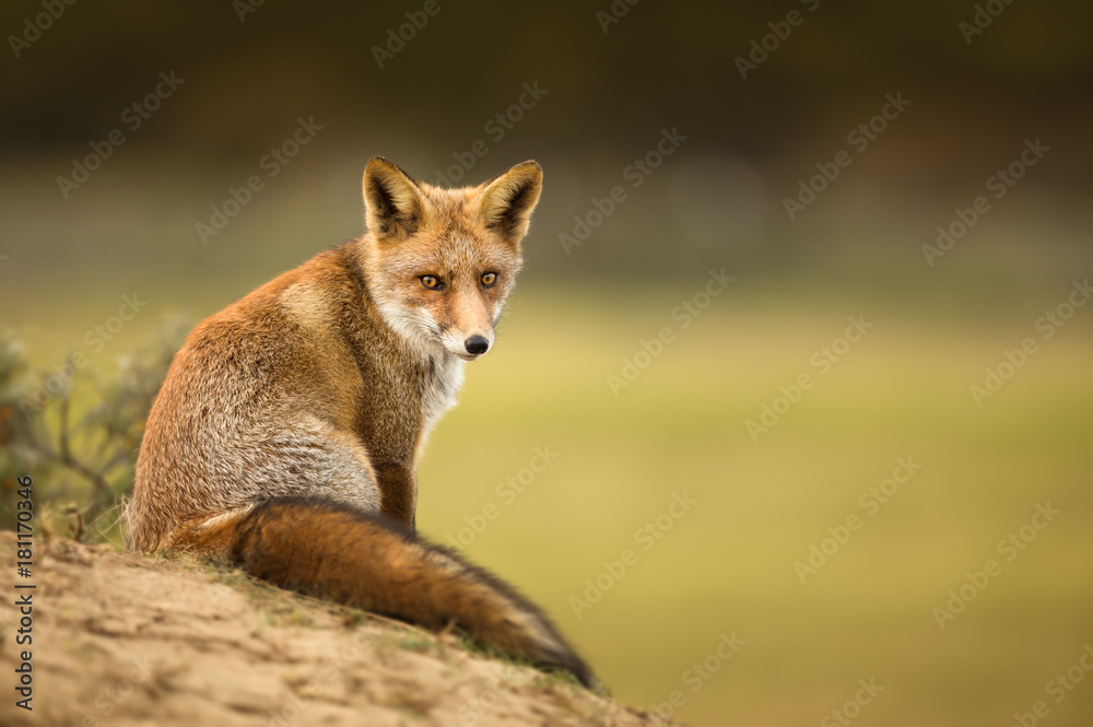 Fototapety, obrazy: Close-up of a young red fox resting on sand in Autumn.