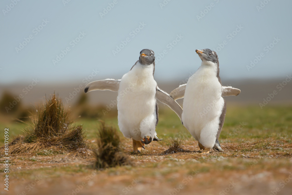 Two young gentoo penguins chasing each other, Falkland islands