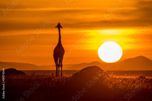 Garden Poster Brown Giraffe in Masai Mara