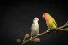 Two Lovebirds