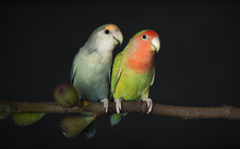 Two Lovebirds On A Fig Branch