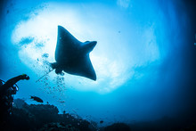 Eagle Ray Sting Ray Underwater...