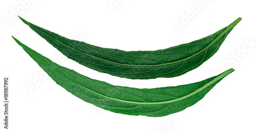 фотография  front and back of long green leaves of a tropical plant isolated on white background
