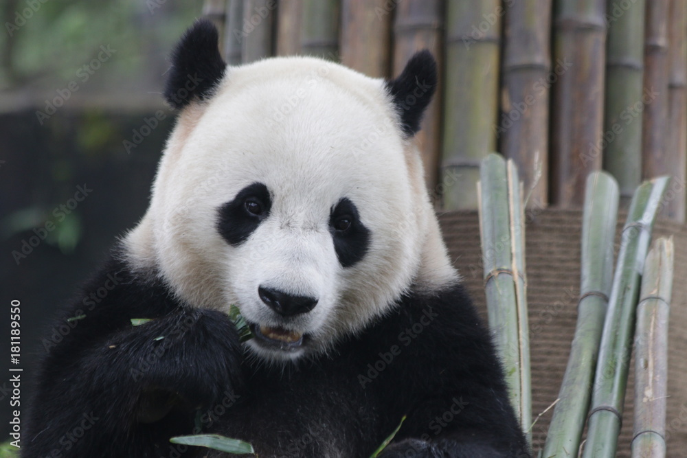 Giant Panda in Dujiangyan Panda Base name Bao Bao,is eating Bamboo Leaves, China