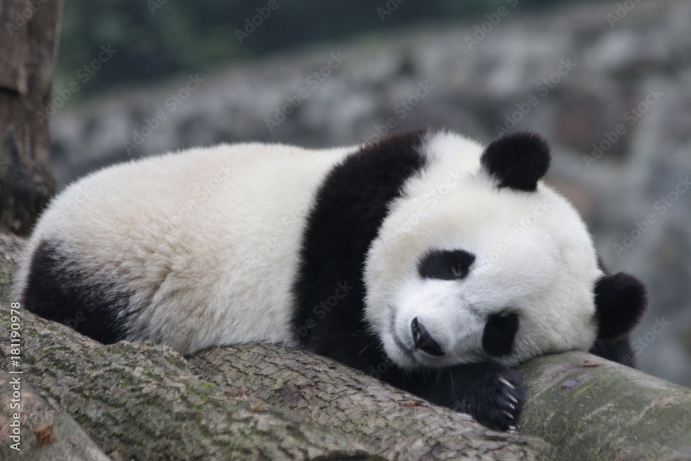 Sleeping Panda on the Wood Structure