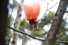 Raggiana Bird-of-paradise (Par...