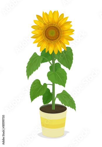 Fotografie, Obraz  Vector Illustration: sunflower in potted plants isolated on white background