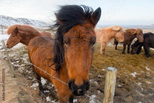 Photo  Horses in Iceland