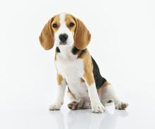 Beagle Dog Sitting With White ...