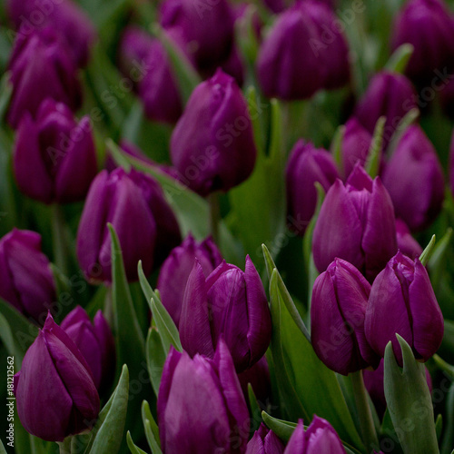 Poster Tulp beautiful purple closed tulips in a field or on a lawn