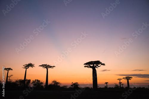 Keuken foto achterwand Baobab baobab Madagascar
