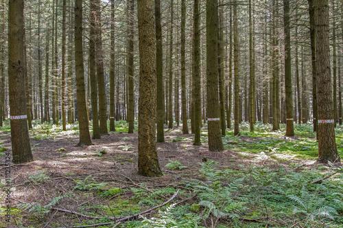 Photo Douglas fir