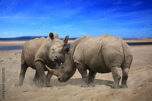 Two rhinoceros fighting head to head