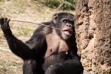 棒を舐めるチンパンジ...