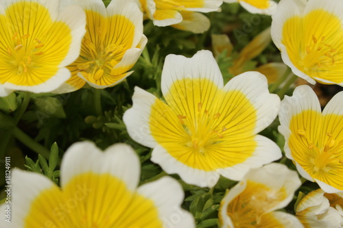 Yellow And White Douglas Meadowfoam Flowers Or Poached Egg Plant