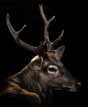 Deer Black Background