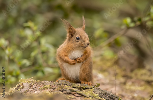 Poster Squirrel Red Squirrel on a log in a forest looking around for food and eating nuts