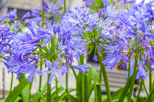 Photo Agapanthus africanus or Agapanthus lily,purple flower