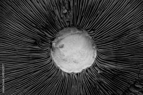 Photo The underside of a Portobello mushroom from close- black and white rendering