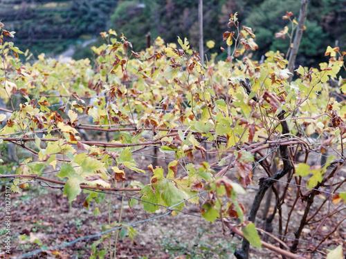 detail of vineyard in five lands near la spezia Poster