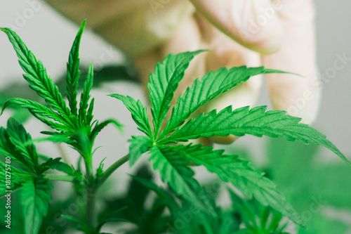 Poster Bamboe The hand of a medical professional and a cannabis leaf is a concept of quality control in the cultivation of cannabis On a white background