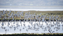 Large Flock Of Black Tailed Go...