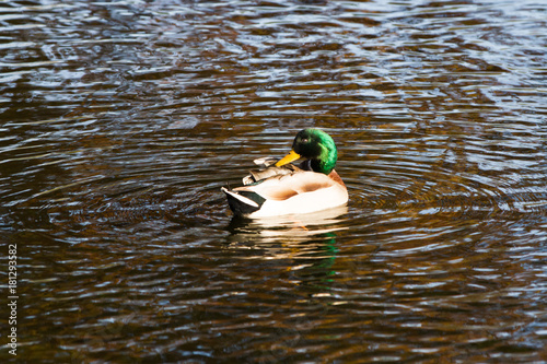 Fotografie, Obraz  Close-up of duck floating on pond in autumn light