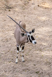Scimitar oryx or scimitar-horned oryx or Sahara oryx, is a species of Oryx once widespread across North Africa