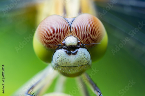 Dragonfly Macro close-up